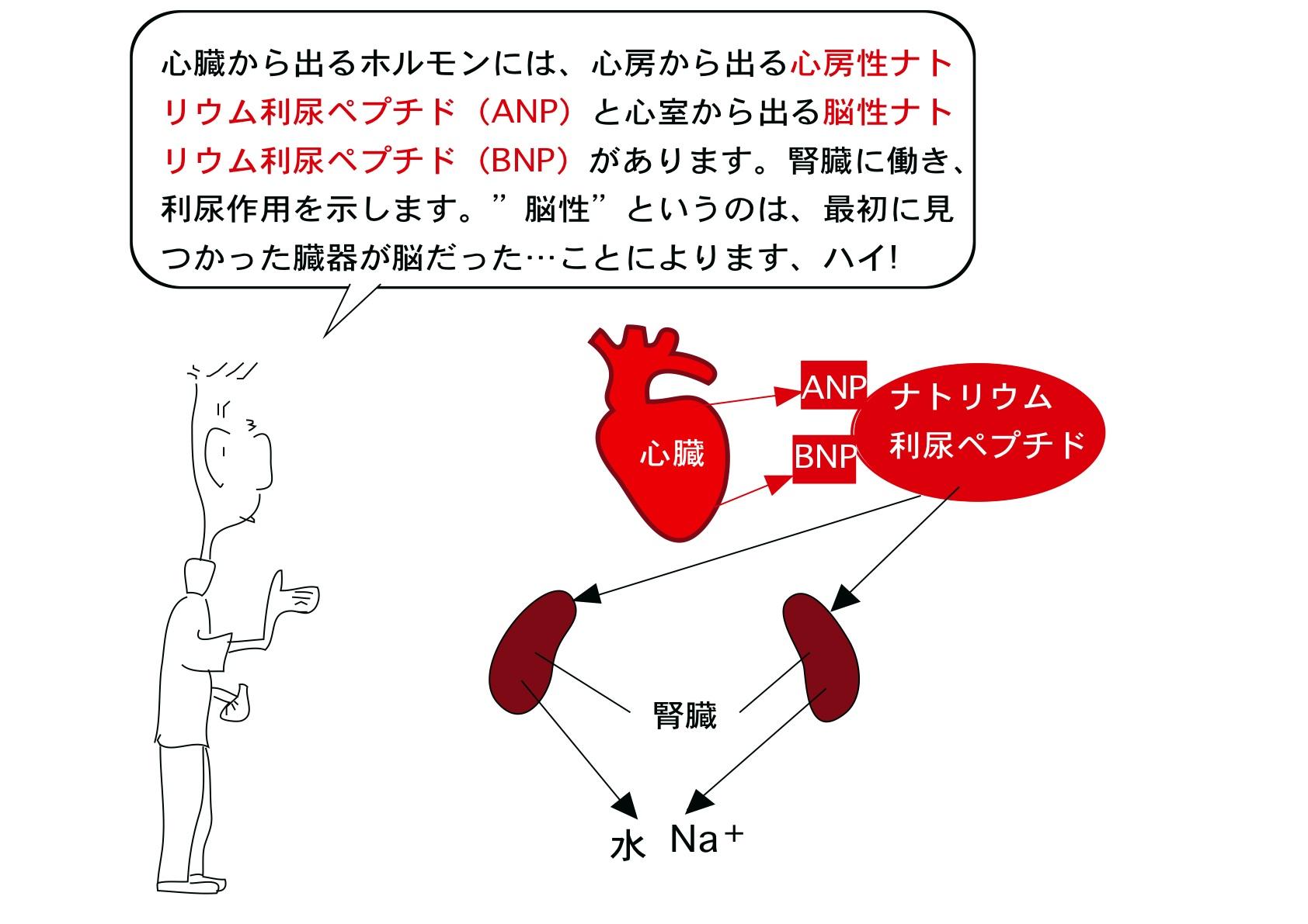 人体の構造と機能 第73回(内分...