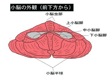 小脳.png